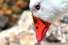DSC_0296-001 (rachidH) Tags: sea lake birds geese mediterranean hellas ducks goose greece waterfowl kefalonia canard oiseaux muscovy oie karavomylos rachidh melissany