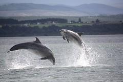 Dolphins, Jump for Joy. (Seckington Images) Tags: scotland flickr dolphin morayfirthdolphins