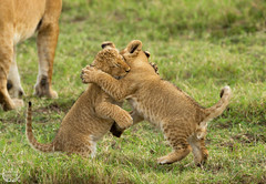 Young lion fight ( Mathieu Pierre photography) Tags: county cats baby game beach fashion animals rock cat canon is big melting kenya african lion young large reserve safari pot national mara 7d f28 maasai flin 70200mm the narok