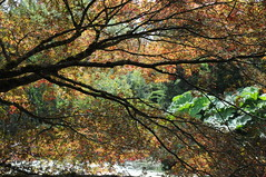 Am Wasser - Fcher-Ahorn (Acer palmatum); VanDusen Botanical Garden, Vancouver (120) (Chironius) Tags: vancouver kanada canada ahorn baum bume tree trees arbre  rbol arbres  rboles albero rvore aa boom trd gegenlicht britishcolumbia acer rosids malvids sapindales seifenbaumartige sapindaceae seifenbaumgewchse hippocastanoideae rosskastaniengewchse