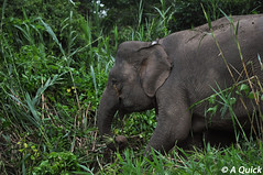 Elephants (Alex.Quick) Tags: life travel cruise trees wild baby holiday elephant color colour tree travelling nature water animal animals river giant landscape photography kid travels nikon colorful stream shoot child shot natural wildlife elle mother picture pic estuary photographs backpacking photograph snack malaysia borneo backpack elephants colourful calf backpacker picturesque snacking kinabatangan gentle ellies sukau idylic
