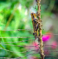 Grasshopper (Doug NC) Tags: texture grasshopper