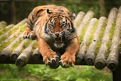 Fury Of A Tiger (Scott Cartwright Photography) Tags: animal canon wildlife tiger bigcat naturephotography agression wildlifephotography canon5dmkiii canon5dmk3 scottcartwright shrewsburyphotographer