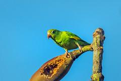 carnivorous yellow-chevroned parakeet digging insects out of the seedpod - in the pantanal - brazil 2 (Russell Scott Images) Tags: brazil pantanal birds yellowchevronedparakeet brotogerischiriri canarywingedparakeet southamerica russellscottimages