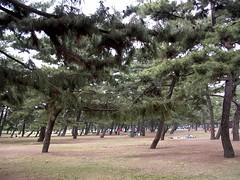 Pine trees  (MRSY) Tags: park tree japan pine  osaka  sakai   hamadera