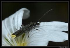 Oedemera nobilis (cquintin) Tags: arthropoda coleoptera nobilis oedemera oedemeridae