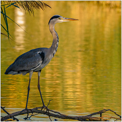 Airone cenerino (Fausto Deseri) Tags: wild nature birds wildlife ardeacinerea greyheron nikontc17eii aironecenerino nikkorafs300mmf4 oasiditivolimanzolino nikond7100 sitodimanzolino