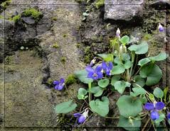 Violette sul muro (mareblu2013) Tags: muro verde flora fiori viole pianta violette fiorellini floraspontanea