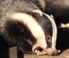 Badger (mlomax1) Tags: nature canon mammal eos stripes wildlife badger brock blacknwhite 600d