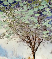 . (Katarina Kosanovic) Tags: autumn reflection tree nature water lily artistic