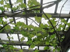 trellis, tangled (muffett68 ) Tags: green vines lookingup trellis sharonma wardsberryfarm
