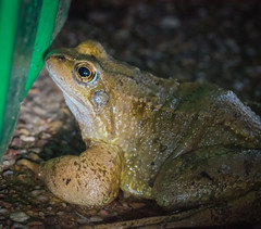 DSC_8006- (kimpompim) Tags: frog amphibian slimy nature