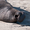 Northern Elephant Seal (_quintin_) Tags: elephantseal anonuevo california animal
