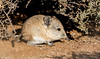 Round-eared Elephant Shrew (Macroscelides proboscideus) (George Wilkinson) Tags: roundeared elephant macroscelidesproboscideus shrew canon 7d 400mm wildlife karoo desert geogap nature reserve northern cape south africa