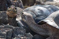198-Galapagos_Houwing (Beverly Houwing) Tags: beverlyhouwing 2017 squidgallery island galapagos equator ecuador pacificocean santacruz puertaayora charlesdarwinresearchstation reptile gianttortoise inspect greet curious