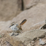 Bandurrilla de pico recto (Ochetorhynchus ruficaudus ruficaudus) Straight-billed Earthcreeper thumbnail