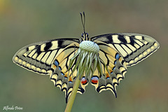 Papilio machaon (Explore) (alfvet) Tags: macro parcodelticino veterinarifotografi nikon farfalle butterflies natura nature insetti primavera colori ngc npc