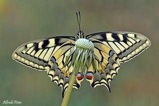 Papilio machaon (Explore)