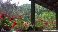 Happy World Environment DAY  (Xena*best friend*) Tags: wood roses wild italy pet cats pets cute animals fur photography chats spring furry woods feline flickr shots stones tiger kitty wed kittens whiskers piemonte gato calico purr meow paws miao geranium gatto katzen pussycat markings miau appletree feral birchtree wildanimals worldenvironmentday ziva allrightsreserved birtchtree alleycatallies piedmontitaly canonef70300mm canoneos500d zivadavid eosrebelt1i xenabestfriend happyworldenvironmentday ncisspecialagent