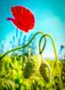Strangled poppy (PaulHoo) Tags: red flower macro love nature lumix vibrant poppy nik strangled vignette lightroom 2014 colorefex saturized ilobsterit