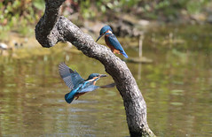 Kingfishers (Taylor1557) Tags: wild bird water beauty birds canon fly flying fishing wildlife kingfisher 500mm bif waterways kingfishers 1dx