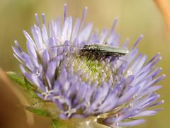 false blister beetle (ophis) Tags: campanulaceae coleoptera sheepsbit jasione oedemera oedemeridae jasionemontana falseblisterbeetle