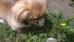 A volar... (9davidandres) Tags: dog pet cute nature dandelion perro mascota lumia1020