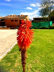 La flor de los Baños del Inca Cajamarca - #peru  #flowersarebeautiful (sybilla19) Tags: flowersarebeautiful