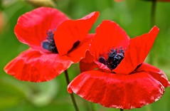 Asian Poppies (Irene, W. Van. BC) Tags: red nature petals montreal blossoms poppies blooms redflowers redpetals beautifulnature wonderfulnature montrealqc beautifulpetals allnature allflowers asianpoppy wonderfulflowers wonderfulblooms wonderfulpetals allpoppies westislandofmontreal