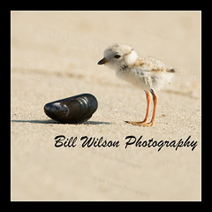 Baby Piping Plover 1 wk old (wildlifephotonj) Tags: birds pipingplover naturephotography shorebirds wildlifephotography pipingplovers pipingploverchick wildlifephotographynewjersey naturephotographynj