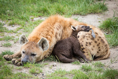 2014-06-19-09h48m13.BL7R1153 (A.J. Haverkamp) Tags: zoo rotterdam blijdorp dierentuin diergaardeblijdorp spottedhyena gevlektehyena httpwwwdiergaardeblijdorpnl canonef100400mmf4556lisusmlens