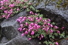 Rock penstemon, Penstemon rupicola, Mt Rainier National Park (jlcummins - Washington State) Tags: flowers flora mountrainiernationalpark washingtonstate nationalparks
