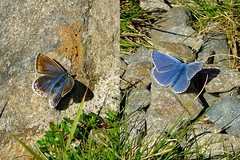 Female and Male Common Blue butterflies (stuant63) Tags: scotland angus july polyommatusicarus glendoll jocksroad stuant63 stuartanthony