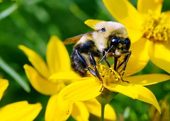 178/365: Bumblebee (Stephen Little) Tags: 100mm bumblebee animalia arthropoda bombus hymenoptera insecta apidae apinae bombini minoltaaf100f28macro minolta100f28macro minolta100mmf28 minolta100mmf28macro minoltaaf100f28 minolta100f28 minoltaaf100mmf28 minoltaaf100mmf28macro sonya77 jstephenlittlejr slta77 sonyslta77 sonyslta77v sonyalphaslta77v minoltaaf100f28macro2581100 minoltaaf100mmf28macro2581100