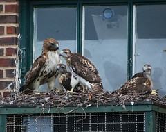 Dora and her 3 kids (Goggla) Tags: new york nyc red urban baby building bird female square village apartment nest hawk tail dora chick east raptor tompkins cdbook eyas christodora gvshp