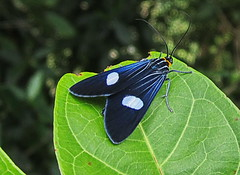 Polilla azul / Blue moth (jjrestrepoa (busy)) Tags: blue azul insect colombia moth lepidoptera arctiidae antioquia insecto polilla heterocera specinsects