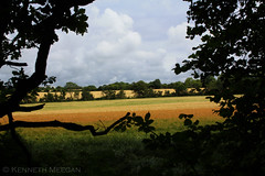 Fields of Gold (Ken Meegan) Tags: ireland tinternabbey fieldsofgold cowexford tinternwoods 1972014