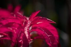 Red leaves (kura51) Tags: summer july 東京 machida 2014 薬師池公園 町田 ef135f2 yakushiikepark 5d3 tokyo夏
