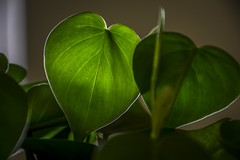Philodendron (M$ingh.) Tags: morning sunlight plant macro reflection green leaves flora nikon heart houseplant botany philodendron autofocus d7100