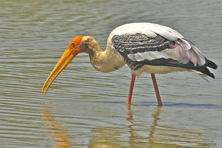 Painted Stork, Satpura Tiger Reserve, India 2014