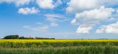 20140626_nva_6996_Texel_koolzaadveld-web (nicolevanas) Tags: holland netherlands field yellow landscape farm texel landschap koolzaad