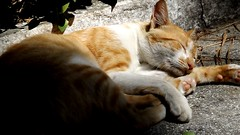 cat sleep (Gonalo Costa) Tags: yellow cat gatos gato