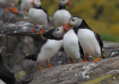 puffin affection (colin 1957) Tags: birds puffin birdwatcher