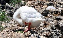 DSC_0309 (rachidH) Tags: sea lake birds geese mediterranean hellas ducks goose greece waterfowl kefalonia canard oiseaux muscovy oie karavomylos rachidh melissany