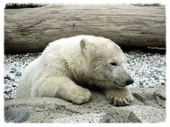 "Baby Eisbär ""Lale"" (v8dub) Tags: bear baby white ice nature animal germany deutschland zoo am meer natur bio arctic polar tierpark eis weiss allemagne blanc bébé bremerhaven tier bär ours eisbär polaire niedersachsen lale biodiversité"