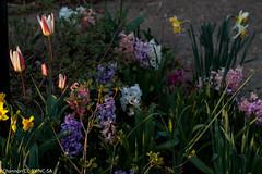 jdy092 bpl Hyacinthus&Narcissus&Tulipa epl Blo RbgbYard Elo Bgr1Egr XX20110402a8580.jpg (rachelgreenbelt) Tags: daffodil tulip hyacinthus jonquil liliaceae floweringplants monocotyledons monocots greenbeltmd irides hyacinthusorientalis familyliliaceae asparagales asparagaceae orderasparagales divisionmagnoliophyta liliaceaefamily domaineukaryota asparagaceaefamily familyasparagaceae tulipaall hyacinthusall tulipaunknownvariety narcissusmixed greenbeltmarylandusa rlcrecyard kingdomarchaeplastida landplantsembryophytes seedplantsspermatophytes