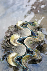 Sisters' Islands Marine Park | Singapore (Ping Timeout) Tags: wildlife singapore sisters islands island marine park animal shore coral reef conservation national parks board pulau subar darat laut straits ocean channel tide low high morning 15 august 2014 guided tour free current tropic tropical legend minah linah giant clam area intertidal lower upper middle 姐妹岛 sea sakotharigal theevu unique beach sun water southern lagoon shell big huge tridacna gigas pā'ua taklobo south china bivalve mollusk chama gigantea outdoor