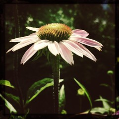 coneflower (Kristiina-) Tags: flower johns makebeautiful hipstamatic canocafenol purehipstamatic iphone5s hipstography