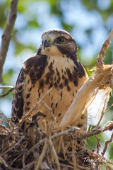 A juvenile Swainson's Hawk in its nest