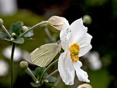 One petal too much... (dolorix) Tags: nature butterfly natur petal bloom blte schmetterling bltenblatt dolorix